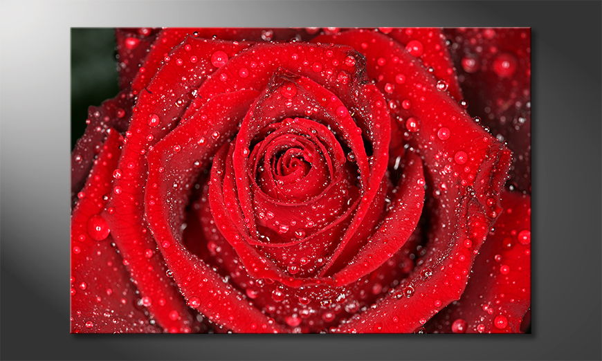 Morning-Rose-quadro